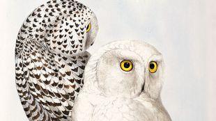 Snowy Owl (Nyctea scandiaca) By Edward Lear