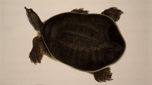 Lear's Painting Of A Turtle